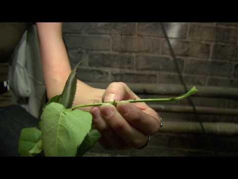 RentAGoalie: Thorns