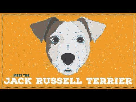Breed Spotlight: the Jack Russell Terrier