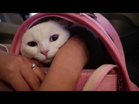 비행기 탄 꼬부기 애완동물 출국 - 10개월 오드아이 먼치킨 고양이 Munchkin Cat Gato マンチカンねこ 短足猫