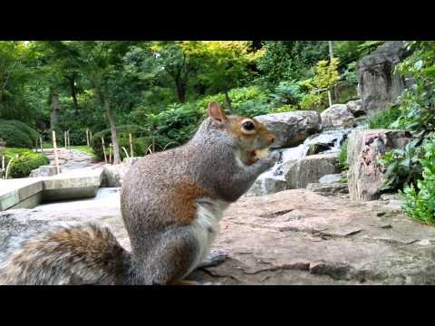 Squirrels in London - Kyoto Garden in Holland Park