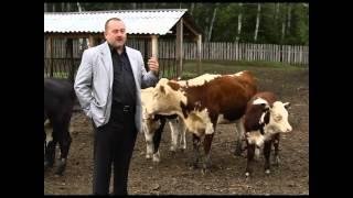Фермер Алексей Бухаровский. Рассказ о герефордской породе скота
