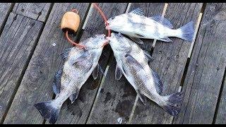 61st pier fishing Galveston, Texas : Black Drum