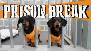 Ep 8: WIENER DOG PRISON BREAK  Funny Dogs Escaping Jail!