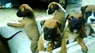 Boxer Yavruları