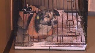 В Костроме началась стерилизация бездомных животных