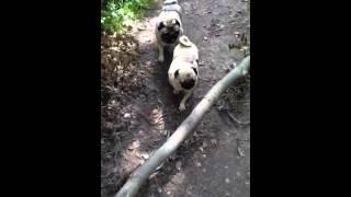 Pugs Jumping