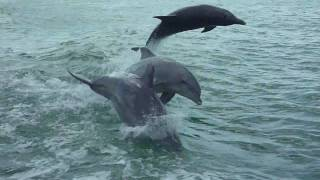 Dolphins at Clearwater, FL