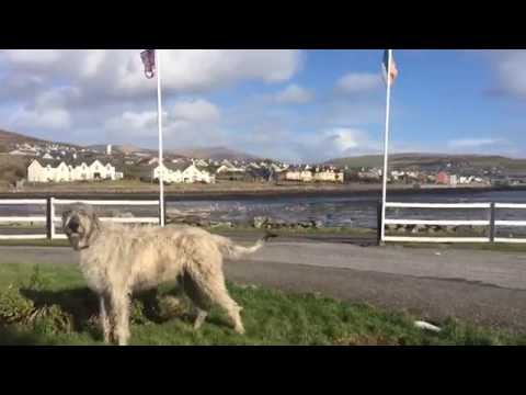 Seamus the Dingle Wolfhound's bloodcurdling bark