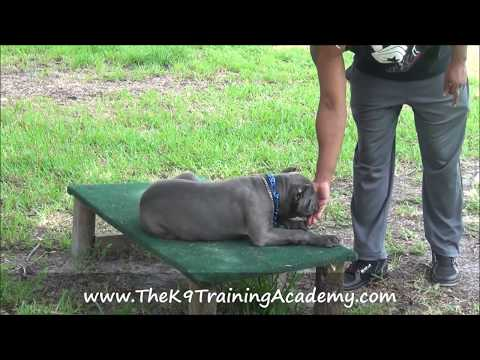 Amica a Cane Corso with Basic Obedience - The K9 Training Academy