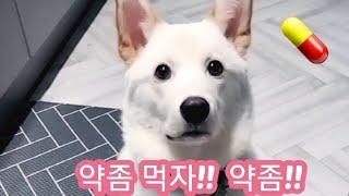 진돗개 알약   먹이기 !!