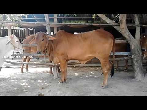 Cách phối giống cho bò 9 - Beautiful cow- Bò Nọc Trại Bò QUỐC HÙNG