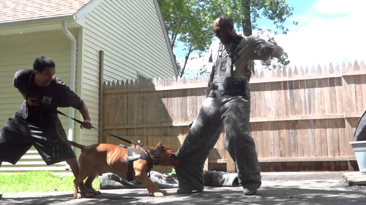 Controlled Pitbull Aggression Quot Worlds Most Elite