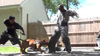 "Controlled Pitbull Aggression ""worlds Most Elite Protection K9's"" Ddk9"