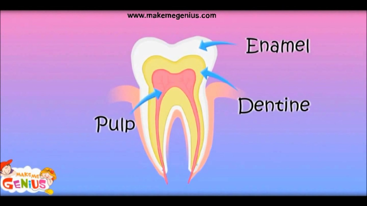 Structure of a Tooth दांत in Hindi