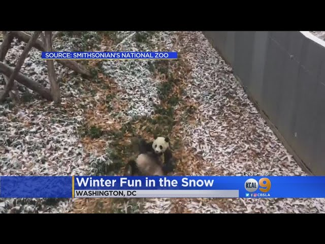 Panda Plays In The Snow