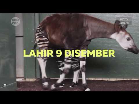 Kompak (Episod 250): 'Okapi' haiwan aneh Zoo London