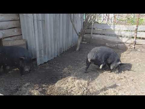 Утро в свинарнике