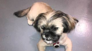 How To Soothe Your Teething Puppy - Moxy - Shih Tzu Rescue 5.75 Months