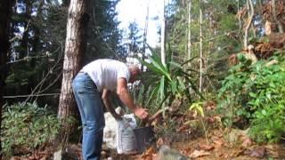 Repotting Yucca elephantipes