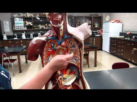 A&P1 Lab#1 Anatomical Directional Terms,...