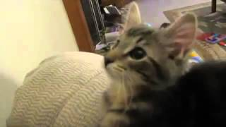 Милый котенок мяукает как ягненок