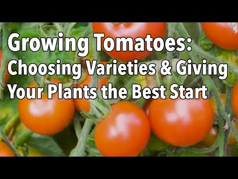 Growing Tomatoes: Choosing Varieties and Giving Your Plants the Best Possible Start