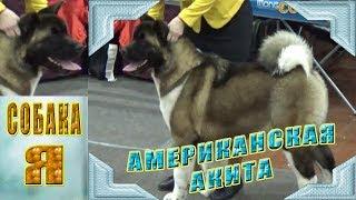 Американская Акита American Akita. Выставка Русский Север Exhibition Russian North.