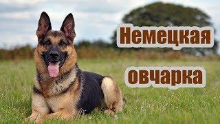 Породы собак. Немецкая овчарка(, 2012-03-30T14:04:17.000Z)
