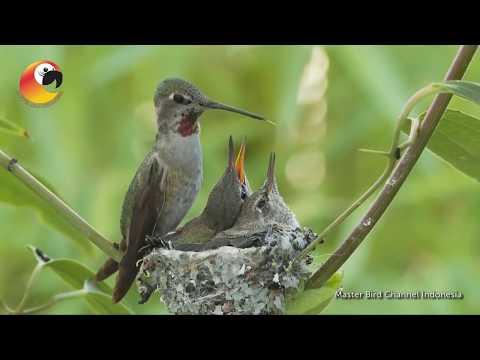 Perjuangan Burung Kolibri Mp3