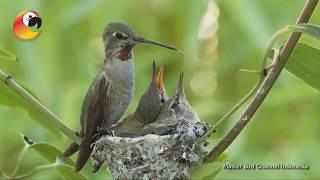 Download Mp3 Perjuangan Burung Kolibri