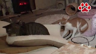 Cat Maya I don't want to lose this match 【Cats room Miaou】