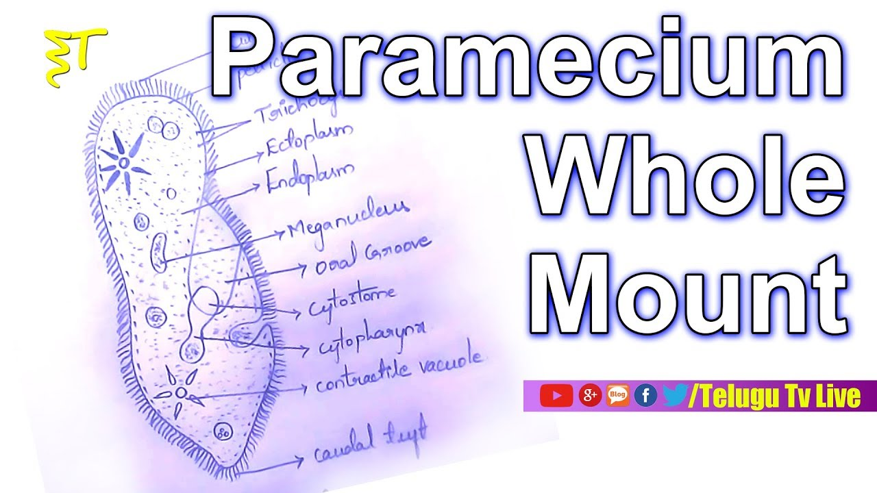 hight resolution of paramecium whole mount diagram zoology diagrams how to draw a diagram in very easy way