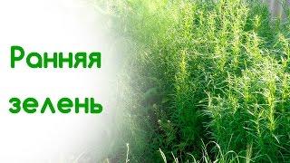 Ранне-весеннние витамины. Зелень на грядке - Мангольд, Фенхель, Салат, Петрушка, Базилик
