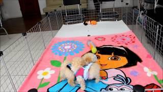 Staryorkie Teacup Maltipoo Puppies Playtime 6 -26-2013