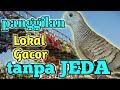 Lokal Gacor Tanpa Jeda Macet Bunyi Langsung Nyaut  Mp3 - Mp4 Download