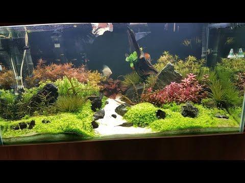 Como cuidar da Planta Ammania sp. Bonsai em um aquário