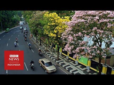 Tabebuya, cara Surabaya melawan polusi udara - YouTube