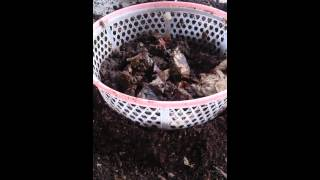 Separating earthworm castings 1