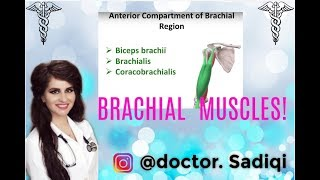 LEARN A/P BRACHIAL MUSCLES WITHIN 3 MINUTE!!!