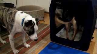 Dog Mob Meets Soft Crate 08 24 12