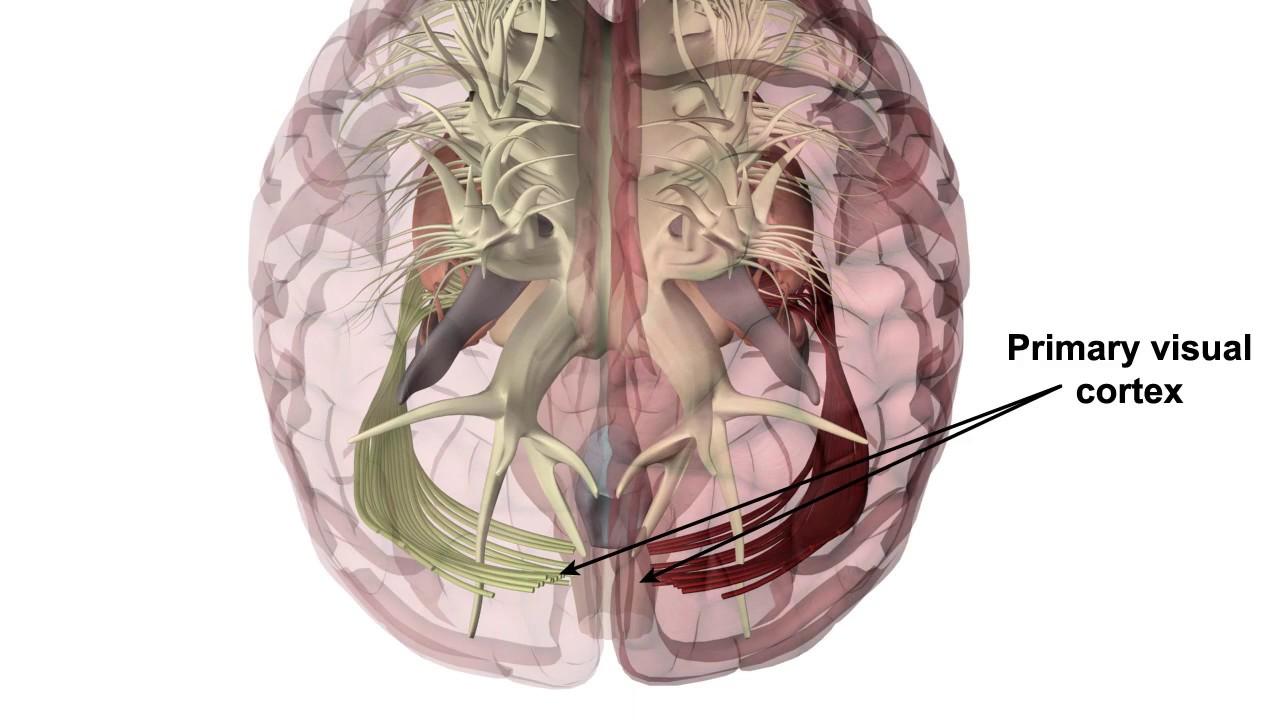 Látás laterális geniculate test - A szem idegpályái