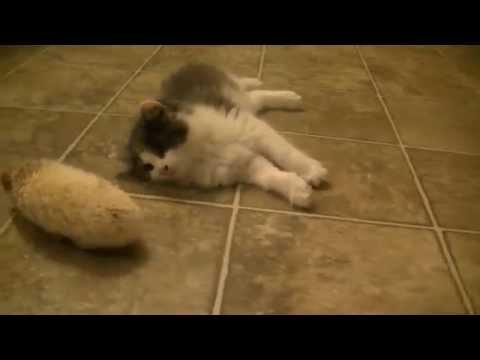 Kitty Cat Meets Baby Hedgehog