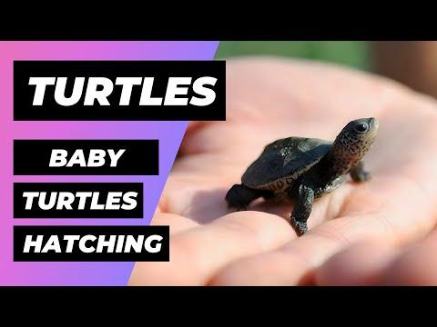 Tortugas Bebé Obtienen Ayuda Al Nacer 🔴 Baby turtles get a helping hand 🐢 Diamondback Terrapins