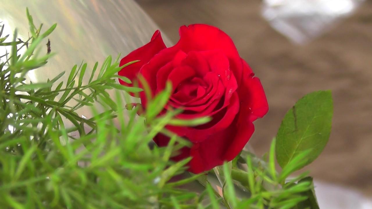red rose flower full hd video - youtube