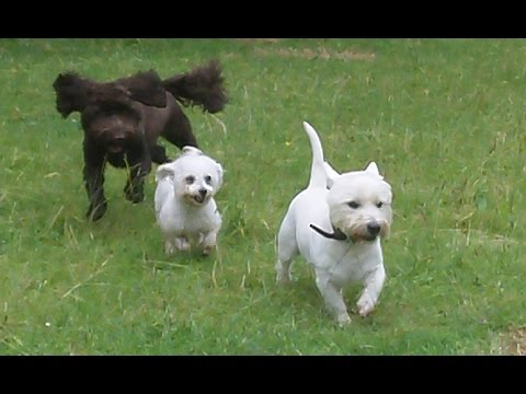 The 3 Ps Cockapoo Party Poppy, Bichon Pepper & Westie Pads..