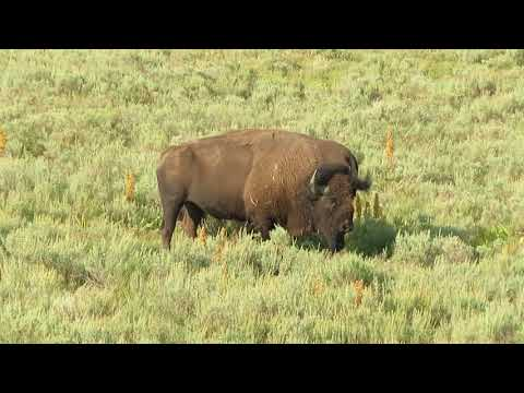 Yellowstone Bison pair 08/14/18