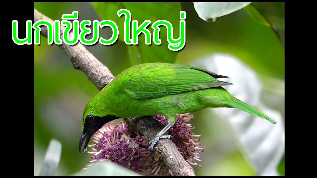 เสียงต่อนกเขียวใหญ่ (ตัดเสียงรบกวน)