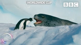 Can this daring penguin outrun a leopard seal TWICE?  | Seven Worlds, One Planet - BBC Earth