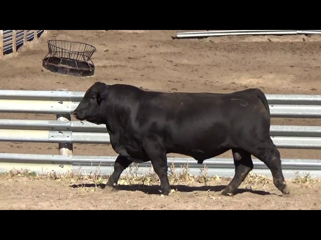 Connealy Angus Lot 38