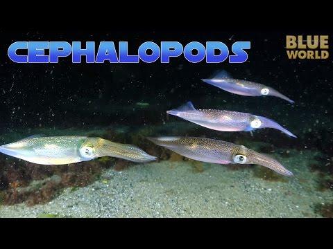 Super Suckers:  Cephalopods! | JONATHAN BIRD'S BLUE WORLD
